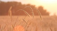 Stock Video Footage of Wheat on breeze - countryside landscape background