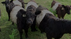 Oreo Cookie Cows Stock Footage