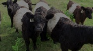 Stock Video Footage of Oreo Cookie Cows
