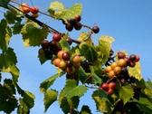 Wine grapes ripening after summer rain in vineyard in breeze against blue sky Stock Footage