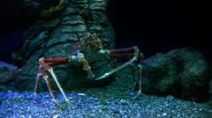 Underwater Ocean Crab 01 Giant Japanise Spider Crab - stock footage