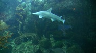 Stock Video Footage of Underwater Ocean Tropical Reef 06 Bonnehead Shark