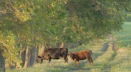 Stock Video Footage of Cow and calf grazing near deciduous tree