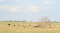 4 IN 1 EDIT Pasture with grazing herd of cattle and old withered tree Stock Footage