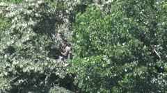 Man in a lime tree Stock Footage