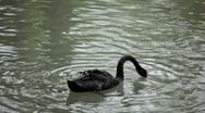Beautiful Black Swan Swimming in a Lake, Cygnus, Anatidae (Bird Family) Stock Footage