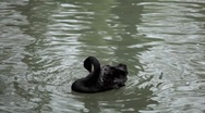 Stock Video Footage of Beautiful Black Swan Swimming in a Lake, Cygnus, Anatidae (Bird Family)