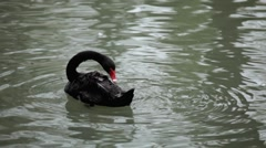 Beautiful Black Swan Swimming in a Lake, Cygnus, Anatidae (Bird Family) Stock Footage