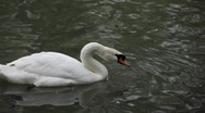 Stock Video Footage of Beautiful White Mute Swan Swimming in a Lake, Cygnus, Anatidae (Bird Family)