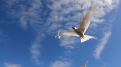 The Arctic Tern (Kria) attacking, defending its territory, summer day, Iceland  Stock Footage