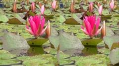 3D Water Flower Nymphaeaceae Stock Footage