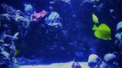 Underwater Ocean Tropical Reef 13 Sergeant Tang Fish - stock footage