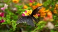 Beautiful Butterfly on Flowers, Colorful Wings, Great Nature Footage