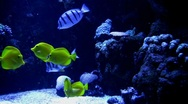 Underwater Ocean Tropical Reef 14 Yellow Tang Fish Stock Footage