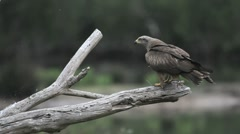 35 seconds in the life of a Black Kite Stock Footage