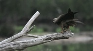 Stock Video Footage of 35 seconds in the life of a Black Kite
