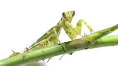 Female green flower praying mantis Stock Footage