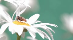 Wild bees on flower - stock footage
