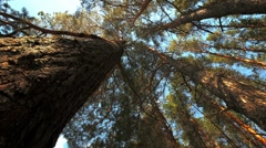 Tracking the tops of pine trees. Timelapse. Stock Footage