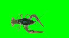 Lobster (green screen) Arkistovideo
