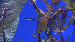 Underwater Ocean Tropical Reef 32 Weedy Seadragon Stock Footage