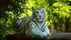 White tigress. Stock Footage