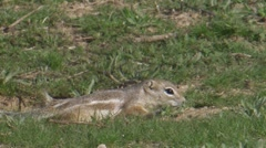 San Joaquin Antelope Ground Squirrel 2 Stock Footage