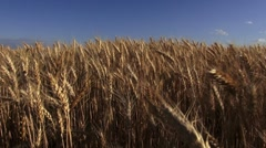 A field of wheat Stock Footage