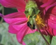 Close up of bumblebee in pink flower Footage