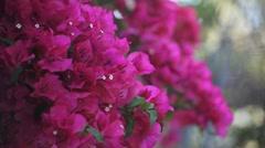 Bougainvillea in full bloom Stock Footage