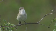 """Least"" Bell's Vireo 2 Stock Footage"