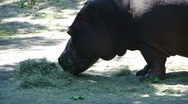 Hippopotamus eating grass  9997-2 Stock Footage