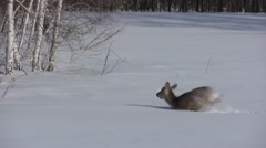 Stock footage wildlife Deer in the snow - stock footage