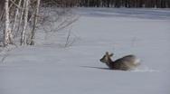 Stock Video Footage of Stock footage wildlife Deer in the snow
