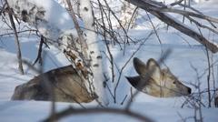 Stock footage wildlife Deer in the snow Stock Footage