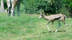 Thompson's Gazelle  9988 Stock Footage