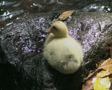Close up of duckling on rock Footage