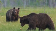Stock Video Footage of Two Brown Bears passing in the moor