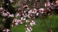 Bees on Flowering Tree, Spring Season, Pollination Footage