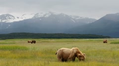 Stock Video Footage of Alaska Bear Country