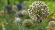 Inflorescences Of Onions Stock Footage