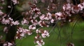 Bees on Flowering Tree, Spring Season, Pollination HD Footage