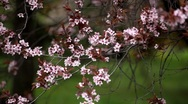 Stock Video Footage of Bees on Flowering Tree, Spring Season, Pollination