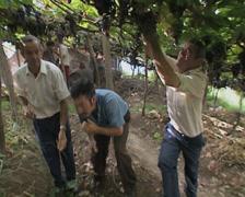 Men picking grapes Stock Footage