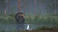 Stock Video Footage of Brown Bear at the pond