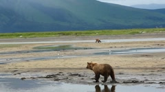 Wild Bear Walks In Shallow Stream Stock Footage
