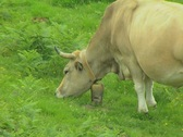 Grazing cow with bell around neck Stock Footage