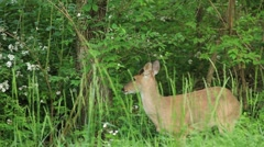 Young whitetail buck at the side of the road Stock Footage