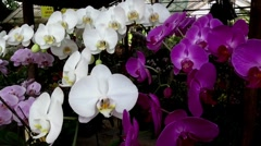 White & Purple Orchids Stock Footage