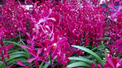 Pink Orchids Stock Footage
